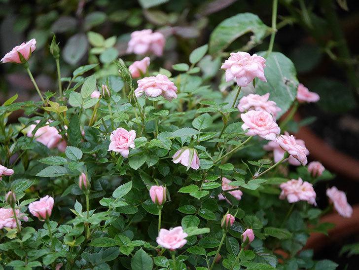 ミスピーチ姫(Miss Peach-hime)の2番花が咲いた。ミニバラ。2020年-006.jpg