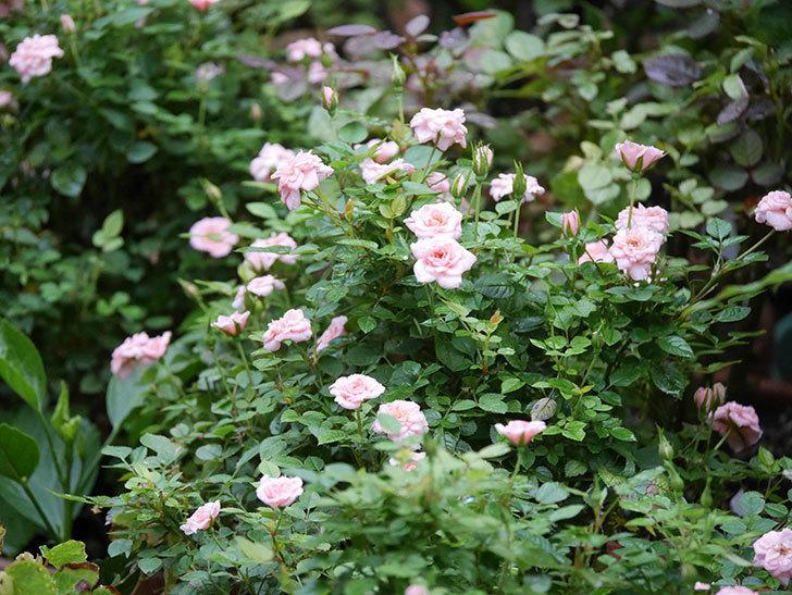 ミスピーチ姫(Miss Peach-hime)の2番花が咲いた。ミニバラ。2020年-007.jpg