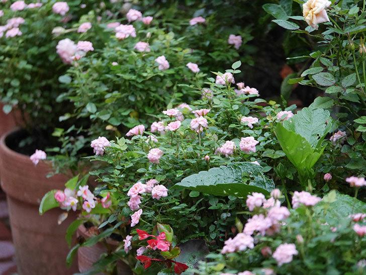 ミスピーチ姫(Miss Peach-hime)の2番花が咲いた。ミニバラ。2020年-008.jpg