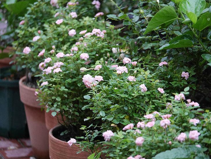 ミスピーチ姫(Miss Peach-hime)の2番花が咲いた。ミニバラ。2020年-009.jpg