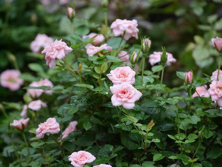 ミスピーチ姫(Miss Peach-hime)の2番花が咲いた。ミニバラ。2020年-010.jpg