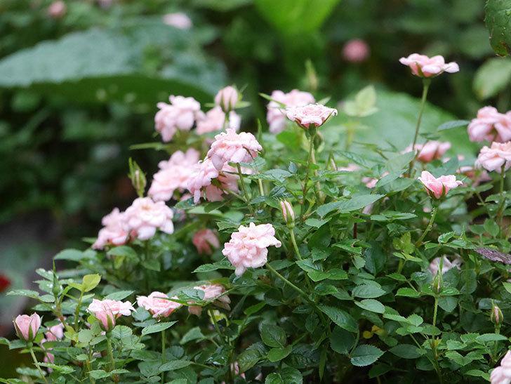 ミスピーチ姫(Miss Peach-hime)の2番花が咲いた。ミニバラ。2020年-011.jpg