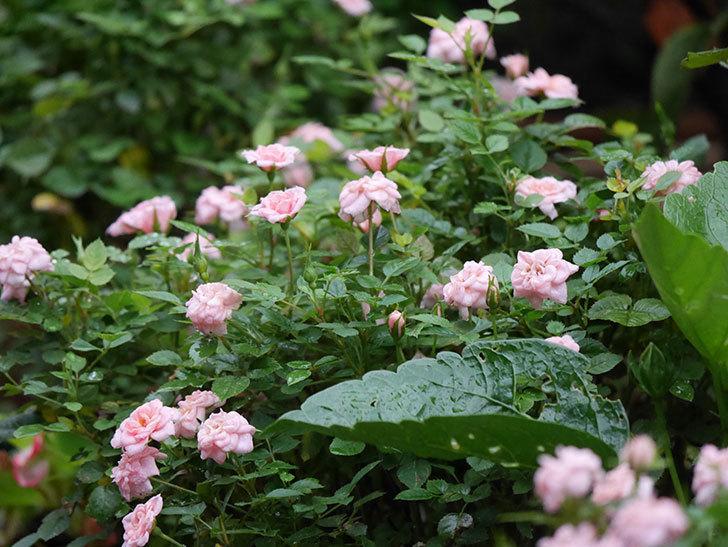 ミスピーチ姫(Miss Peach-hime)の2番花が咲いた。ミニバラ。2020年-012.jpg