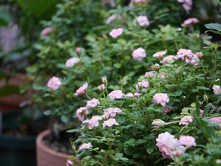 ミスピーチ姫(Miss Peach-hime)の2番花が咲いた。ミニバラ。2020年-013.jpg