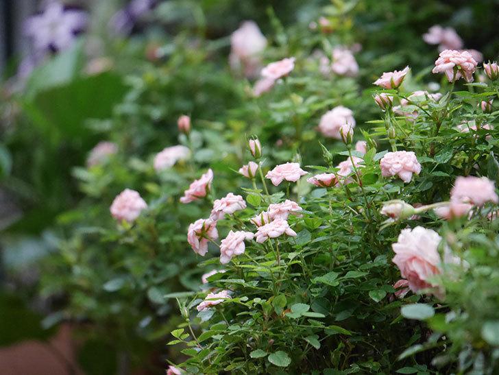 ミスピーチ姫(Miss Peach-hime)の2番花が咲いた。ミニバラ。2020年-014.jpg