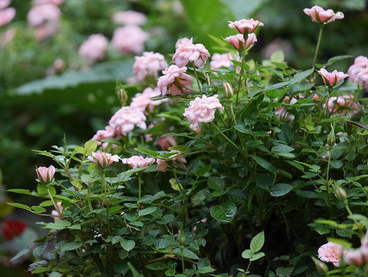 ミスピーチ姫(Miss Peach-hime)の2番花が咲いた。ミニバラ。2020年-015.jpg