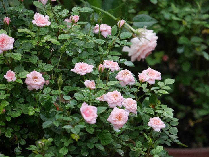 ミスピーチ姫(Miss Peach-hime)の2番花が咲いた。ミニバラ。2020年-017.jpg