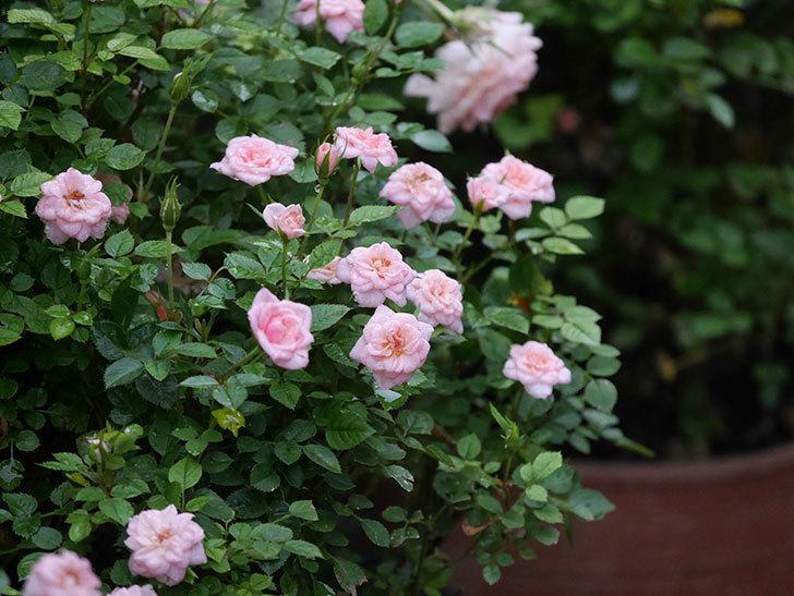 ミスピーチ姫(Miss Peach-hime)の2番花が咲いた。ミニバラ。2020年-018.jpg