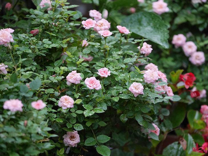 ミスピーチ姫(Miss Peach-hime)の2番花が咲いた。ミニバラ。2020年-019.jpg