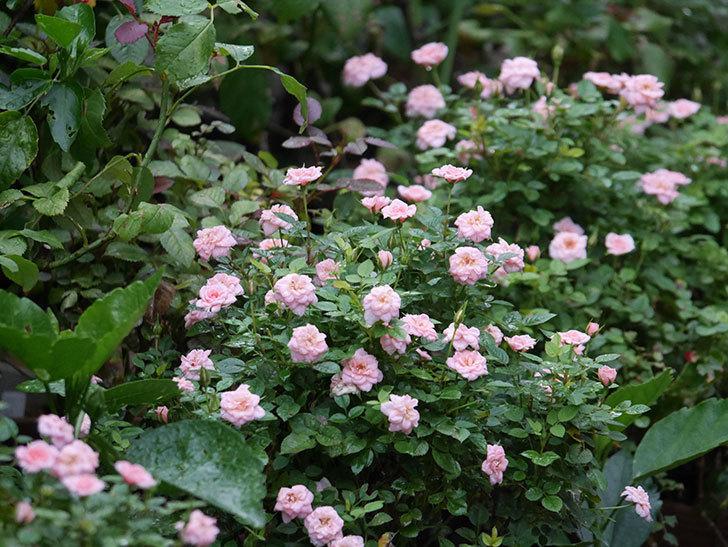 ミスピーチ姫(Miss Peach-hime)の2番花が咲いた。ミニバラ。2020年-020.jpg
