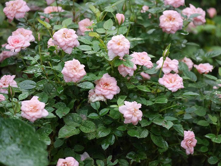 ミスピーチ姫(Miss Peach-hime)の2番花が咲いた。ミニバラ。2020年-021.jpg