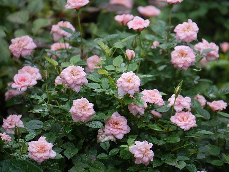 ミスピーチ姫(Miss Peach-hime)の2番花が咲いた。ミニバラ。2020年-022.jpg