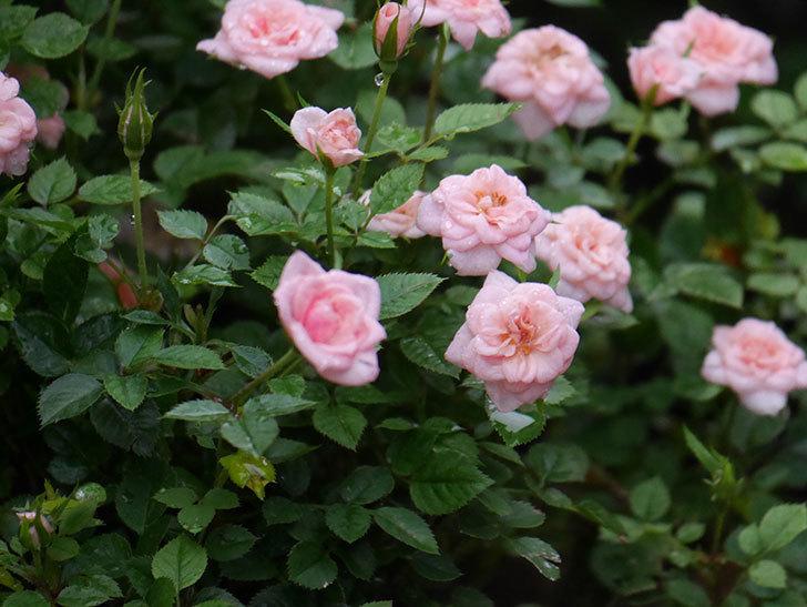 ミスピーチ姫(Miss Peach-hime)の2番花が咲いた。ミニバラ。2020年-023.jpg