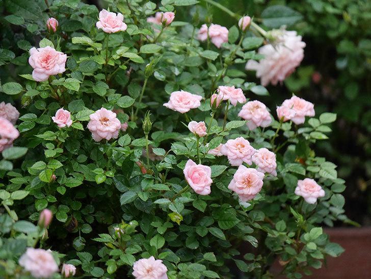ミスピーチ姫(Miss Peach-hime)の2番花が咲いた。ミニバラ。2020年-024.jpg