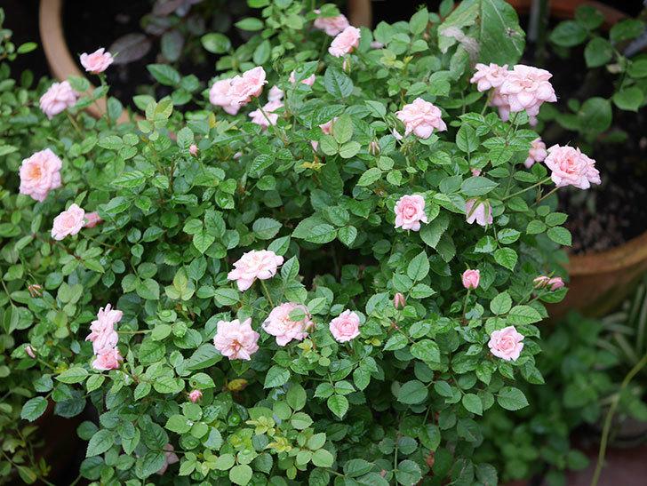 ミスピーチ姫(Miss Peach-hime)の2番花が咲いた。ミニバラ。2020年-025.jpg