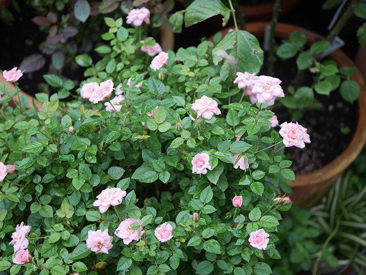 ミスピーチ姫(Miss Peach-hime)の2番花が咲いた。ミニバラ。2020年-026.jpg