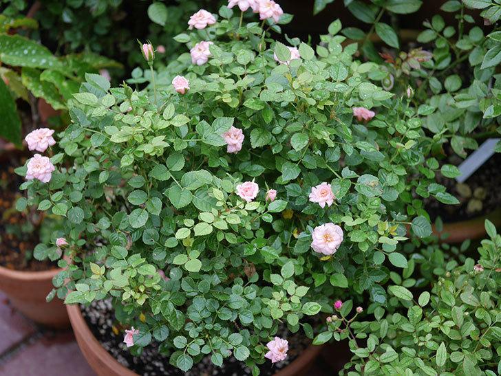 ミスピーチ姫(Miss Peach-hime)の2番花が咲いた。ミニバラ。2020年-027.jpg