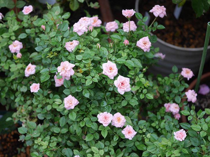 ミスピーチ姫(Miss Peach-hime)の2番花が咲いた。ミニバラ。2020年-028.jpg