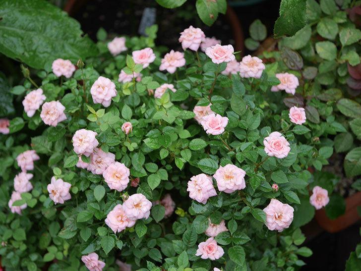 ミスピーチ姫(Miss Peach-hime)の2番花が咲いた。ミニバラ。2020年-029.jpg