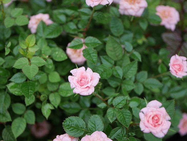 ミスピーチ姫(Miss Peach-hime)の2番花が咲いた。ミニバラ。2020年-030.jpg
