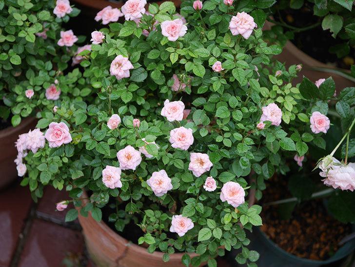 ミスピーチ姫(Miss Peach-hime)の2番花が咲いた。ミニバラ。2020年-031.jpg