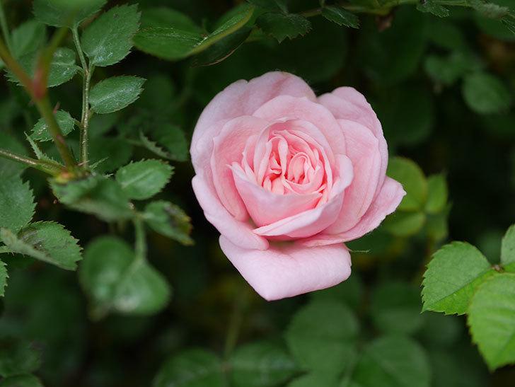 ミスピーチ姫(Miss Peach-hime)の花がぽつぽつ咲きだした。ミニバラ。2021年-008.jpg