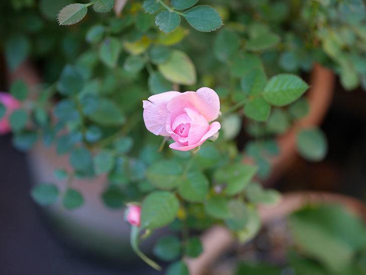 ミスピーチ姫(Miss Peach-hime)の花がまだ咲いている。ミニバラ。2021年1月-001.jpg
