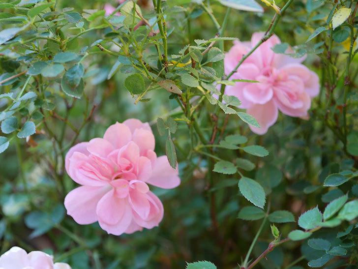 ミスピーチ姫(Miss Peach-hime)の花がまだ咲いている。ミニバラ。2021年1月-002.jpg