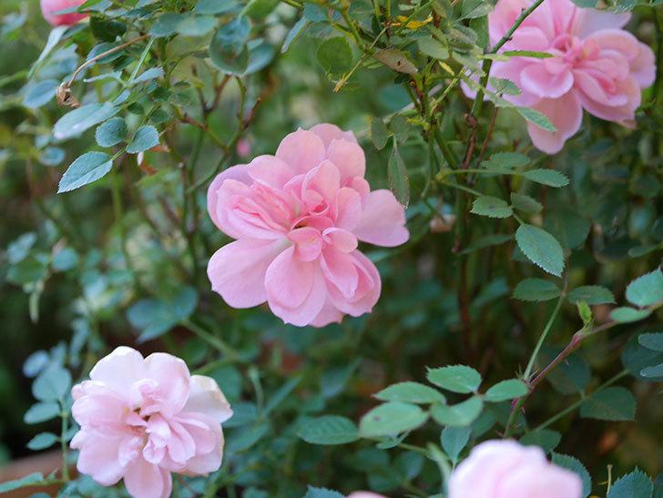 ミスピーチ姫(Miss Peach-hime)の花がまだ咲いている。ミニバラ。2021年1月-003.jpg