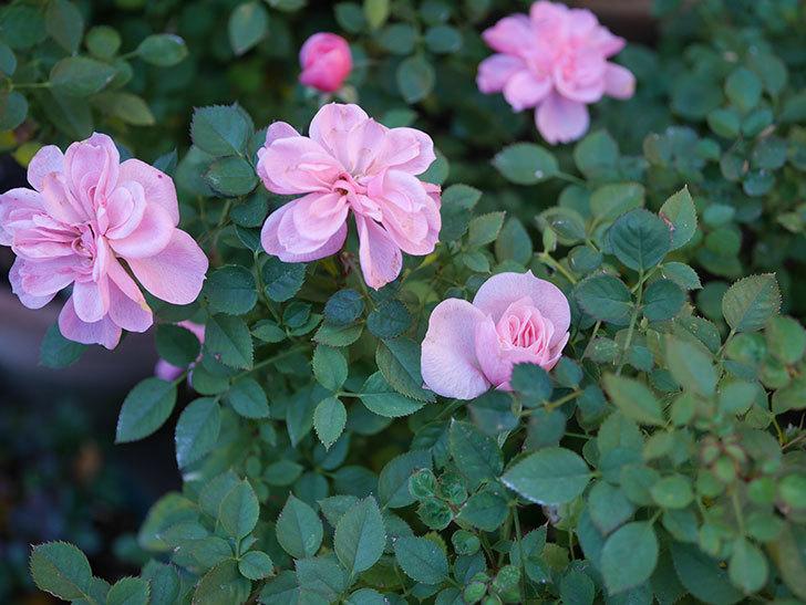 ミスピーチ姫(Miss Peach-hime)の花がまだ咲いている。ミニバラ。2021年1月-005.jpg