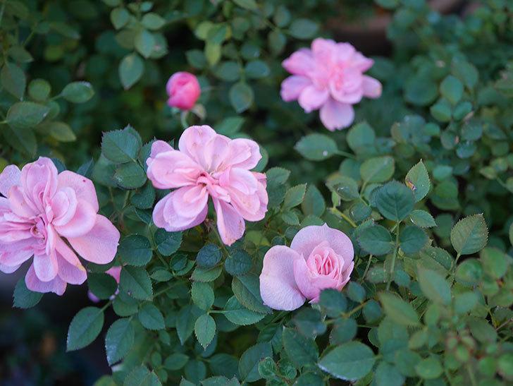 ミスピーチ姫(Miss Peach-hime)の花がまだ咲いている。ミニバラ。2021年1月-006.jpg