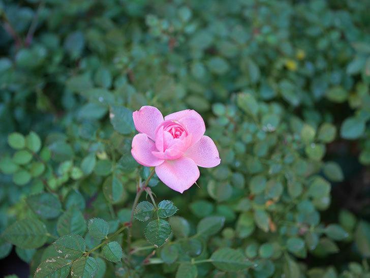 ミスピーチ姫(Miss Peach-hime)の花がまだ咲いている。ミニバラ。2021年1月-007.jpg