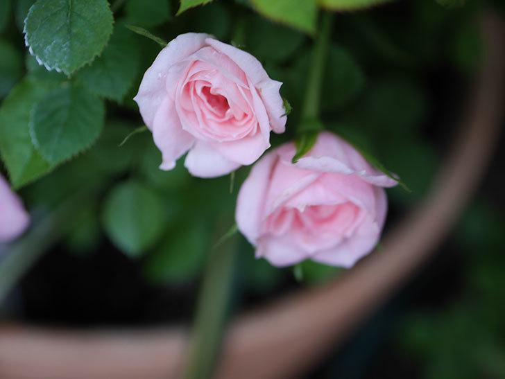 ミスピーチ姫(Miss Peach-hime)の花が増えてきた。ミニバラ。2021年-001.jpg
