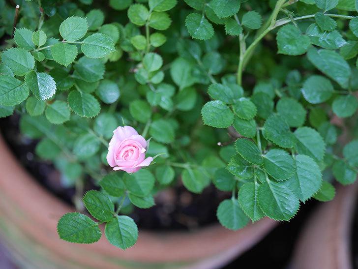 ミスピーチ姫(Miss Peach-hime)の花が増えてきた。ミニバラ。2021年-002.jpg
