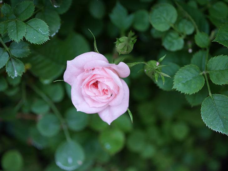 ミスピーチ姫(Miss Peach-hime)の花が増えてきた。ミニバラ。2021年-003.jpg