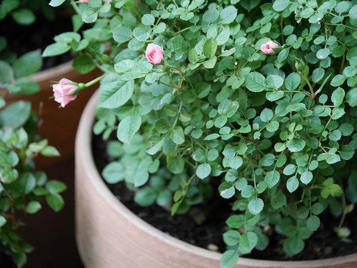 ミスピーチ姫(Miss Peach-hime)の花が増えてきた。ミニバラ。2021年-004.jpg