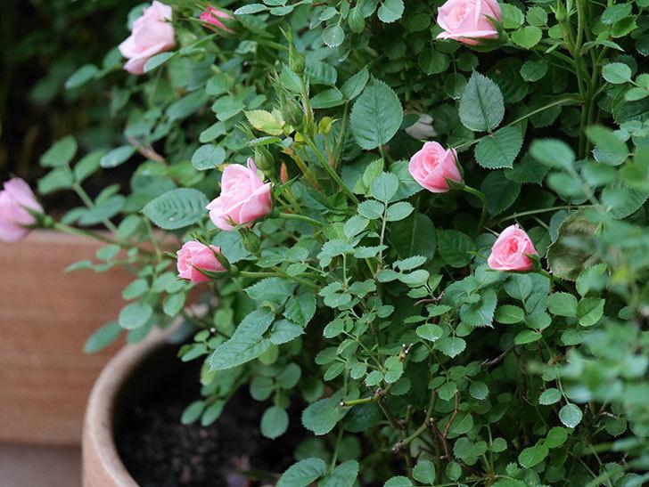 ミスピーチ姫(Miss Peach-hime)の花が増えてきた。ミニバラ。2021年-006.jpg