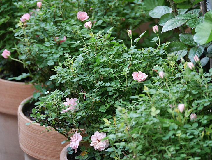 ミスピーチ姫(Miss Peach-hime)の花が増えてきた。ミニバラ。2021年-008.jpg