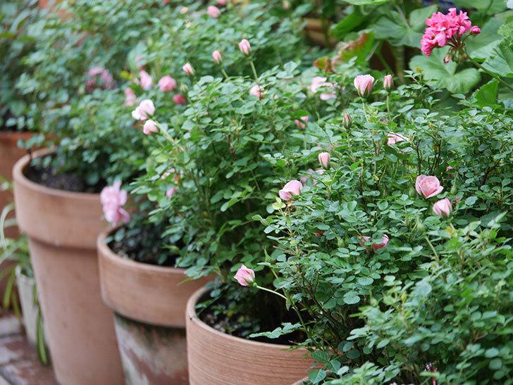 ミスピーチ姫(Miss Peach-hime)の花が増えてきた。ミニバラ。2021年-009.jpg