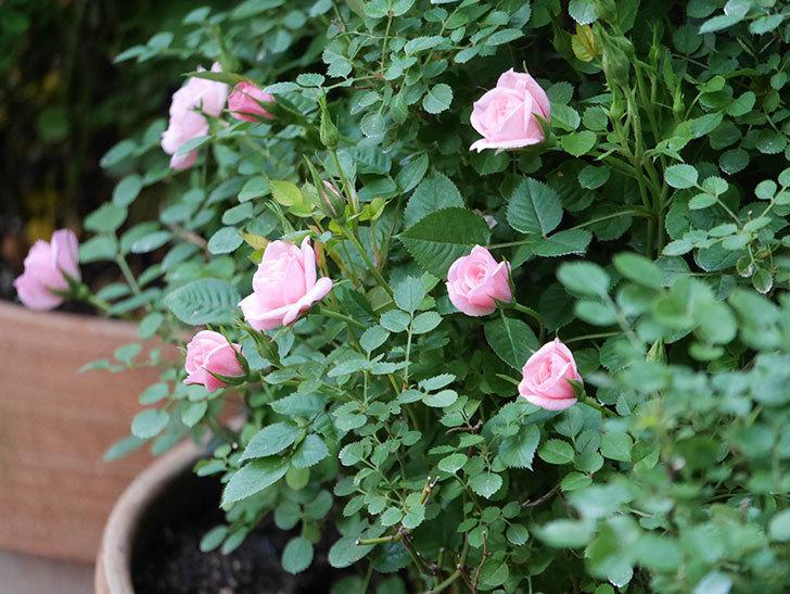 ミスピーチ姫(Miss Peach-hime)の花が増えてきた。ミニバラ。2021年-012.jpg