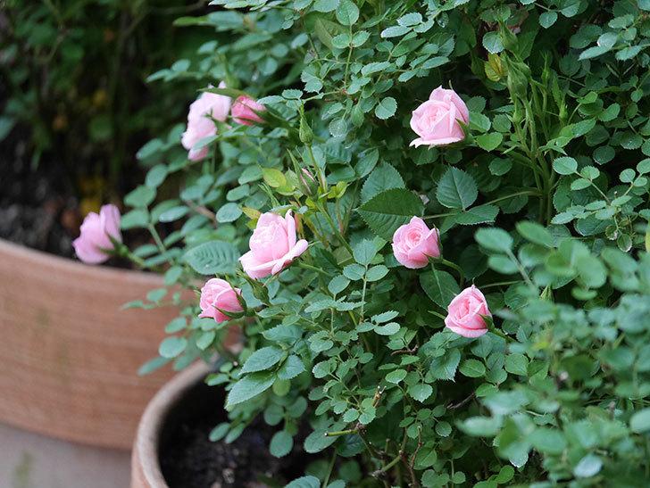ミスピーチ姫(Miss Peach-hime)の花が増えてきた。ミニバラ。2021年-013.jpg