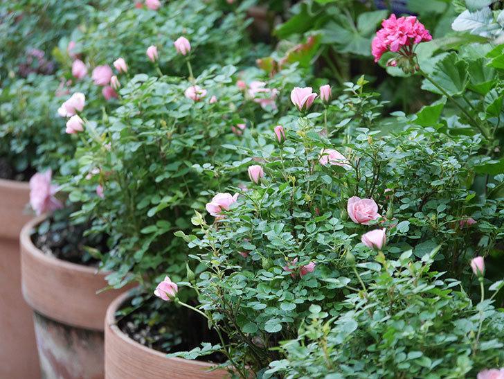 ミスピーチ姫(Miss Peach-hime)の花が増えてきた。ミニバラ。2021年-014.jpg