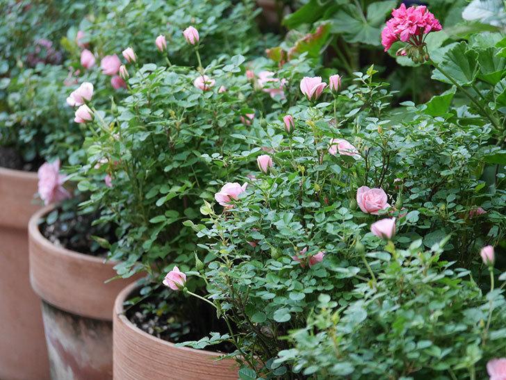 ミスピーチ姫(Miss Peach-hime)の花が増えてきた。ミニバラ。2021年-015.jpg