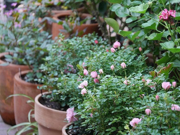 ミスピーチ姫(Miss Peach-hime)の花が増えてきた。ミニバラ。2021年-017.jpg