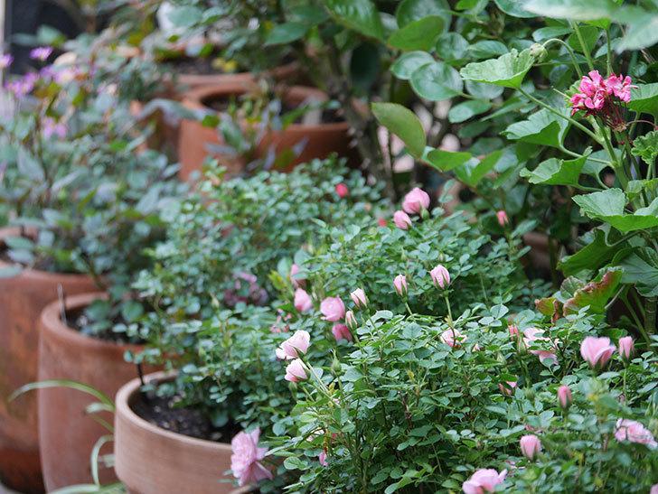 ミスピーチ姫(Miss Peach-hime)の花が増えてきた。ミニバラ。2021年-018.jpg