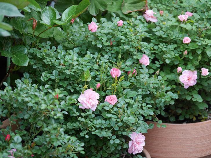 ミスピーチ姫(Miss Peach-hime)の花が増えてきた。ミニバラ。2021年-019.jpg
