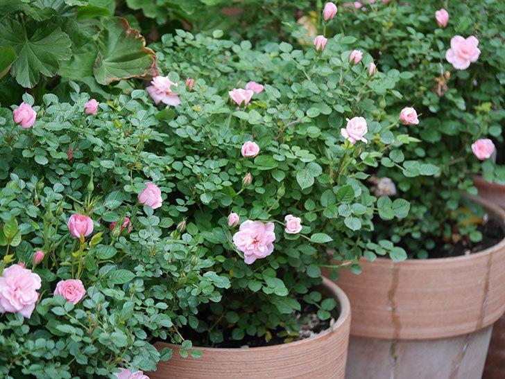 ミスピーチ姫(Miss Peach-hime)の花が増えてきた。ミニバラ。2021年-020.jpg