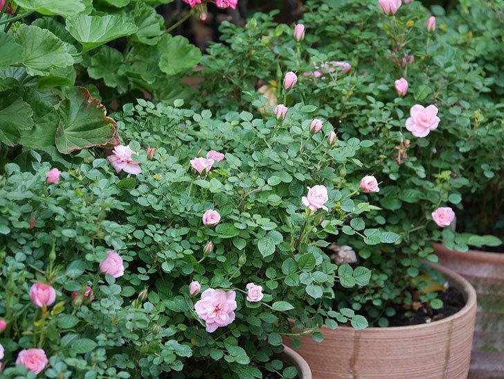 ミスピーチ姫(Miss Peach-hime)の花が増えてきた。ミニバラ。2021年-021.jpg