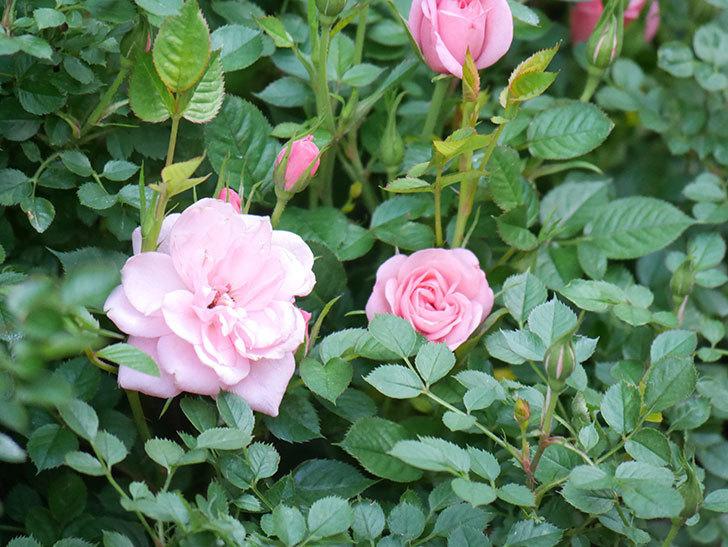 ミスピーチ姫(Miss Peach-hime)の花が増えてきた。ミニバラ。2021年-022.jpg