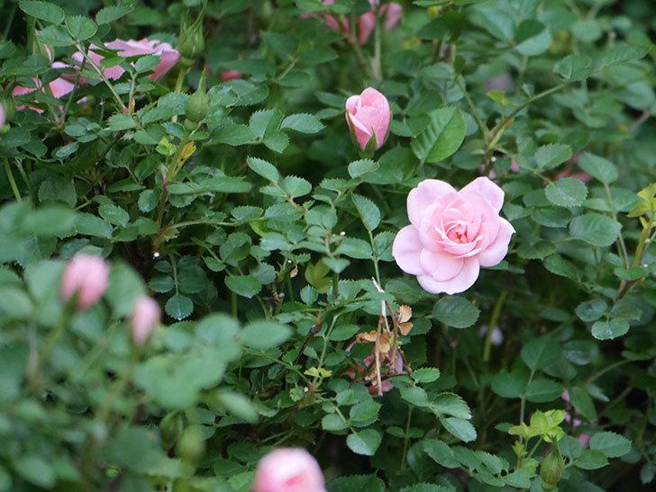 ミスピーチ姫(Miss Peach-hime)の花が増えてきた。ミニバラ。2021年-025.jpg
